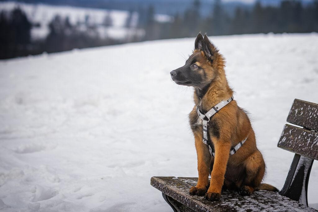 Štěně na lavičce na vodítku – socializujte ho postupně, nepouštějte ho ihned na volno, abyste ho mohli včas odvolat a druzí psi ho nepokousali.